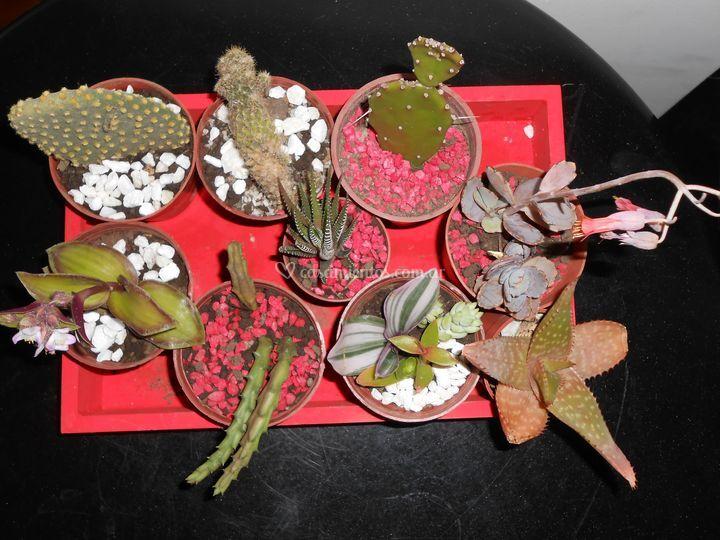 Mix cactus y suculentas