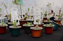 Mini cactus: los souvenirs de moda y sus lindas presentaciones